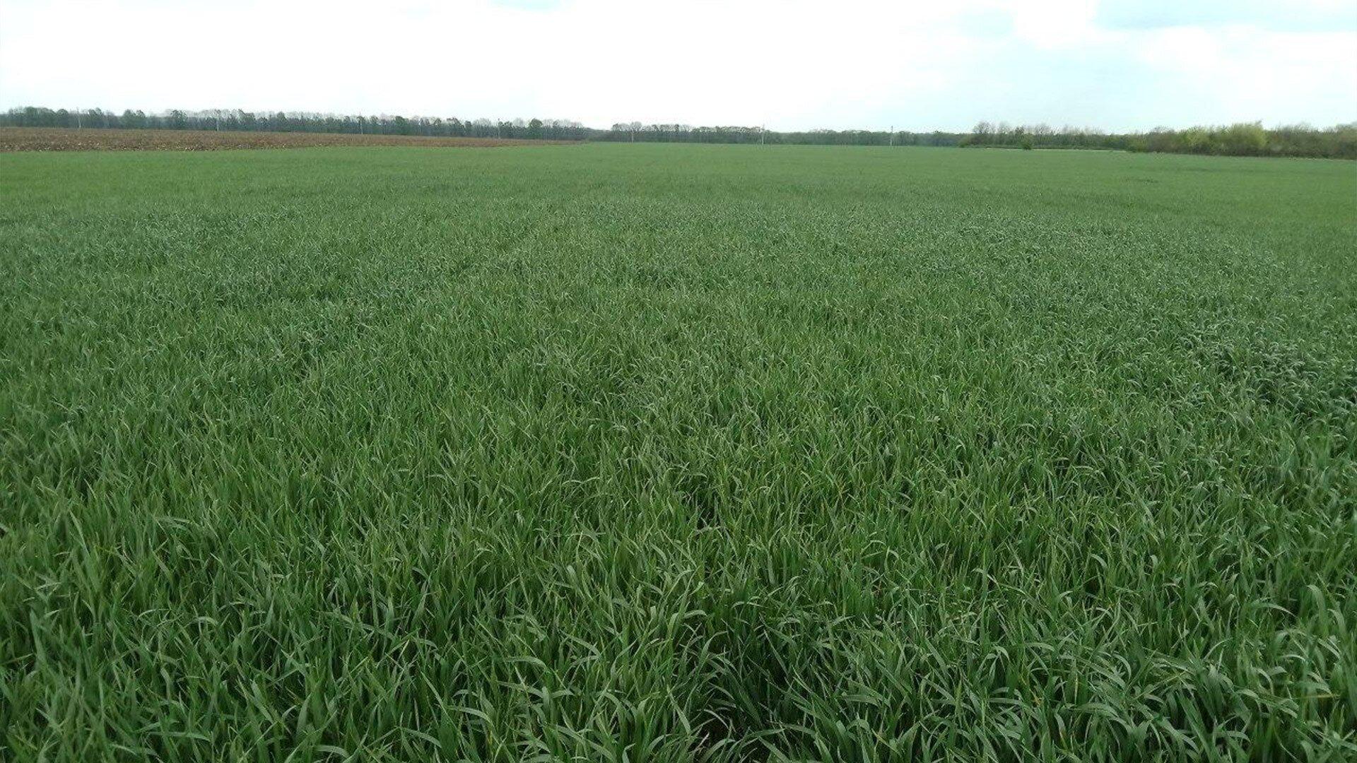 Состояние пшеницы через 5 дней после внесения баковой смеси