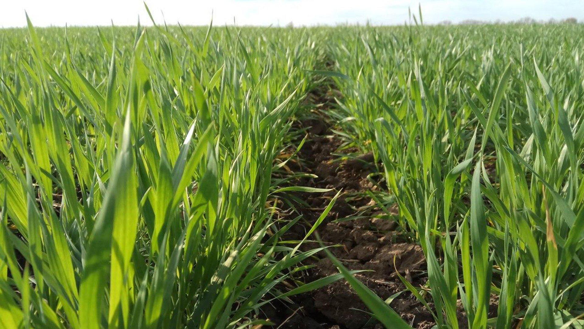 30-31 фаза розвитку озимої пшениці - початок виходу в трубку